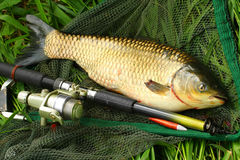 The White Amur - Grass Carp. The White Amur or Grass Carp (Ctenopharyngodon idella) grow large and are strong fighters on a rod and reel, but because of their stock images