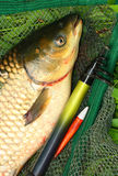 The White Amur - Grass Carp. Royalty Free Stock Photography