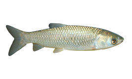 The White Amur or Grass Carp. Stock Photo