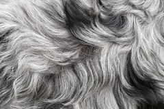 Free White And Black, Grey Dog`s Dense Fur High Quality Macro, Gray Haired Dog`s Coat Or Simply A Fluffy Rug Background Texture Royalty Free Stock Photo - 153547425