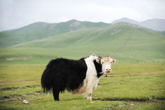 White And Black Yak Royalty Free Stock Photos