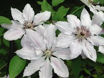 Free White And Pink Flower Of Clematis Plant Royalty Free Stock Photography - 134436317
