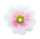 White And Pink Hollyhocks Flower Isolated Royalty Free Stock Photo