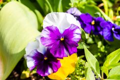 Free White And Purple Pansies Royalty Free Stock Image - 183330066