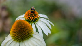 Free White And Yellow Flower And A Bumblebee Close Up Photography. Royalty Free Stock Photos - 96154898