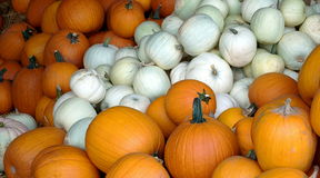 Free White And Yellow Pumpkin Patch Royalty Free Stock Image - 11120556