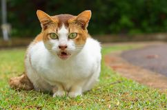 Free White And Yellow Stray Cat Sitting On Grass With Big Green Eyes Looking Into The Camera And Cat Is Angry. Stock Photography - 137134652