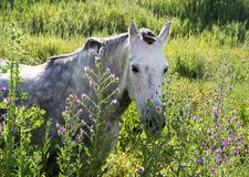 White Andalucian horse stock images
