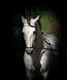 White andalusian. Dressage stallion on dark Royalty Free Stock Images