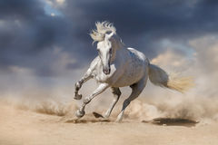 White andalusian horse Stock Photography