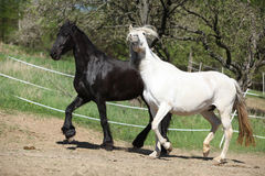 White andalusian horse with black friesian horse Royalty Free Stock Photography