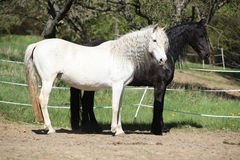 White andalusian horse with black friesian horse Stock Photo
