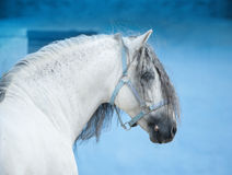 White andalusian horse on bright blue wall background portrait Stock Image