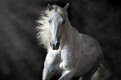 White andalusian horse in motion Stock Photography
