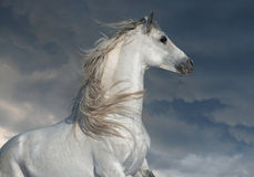 White andalusian horse with long mane portrait in motion. The white andalusian horse with long mane portrait in motion Royalty Free Stock Photography