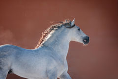 White andalusian horse near red wall Royalty Free Stock Image