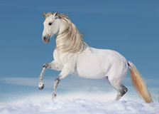 White andalusian stallion in paddock Royalty Free Stock Photography