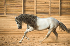 White Andalusian horse portrait in motion Royalty Free Stock Photo