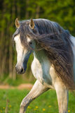 White Andalusian horse portrait in summer Royalty Free Stock Photo