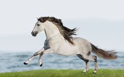 White Andalusian horse (Pura Raza Espanola) runs gallop in summe Stock Photography