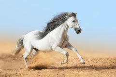 White Andalusian horse runs in dust Stock Photos