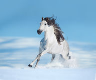 White andalusian horse runs free on winter hill Royalty Free Stock Photography
