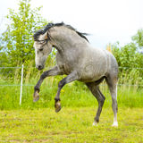 White Andalusian horse runs gallop in summe Stock Image