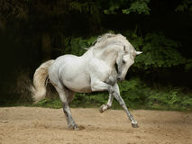 White Andalusian horse runs gallop in summer time. The white Andalusian horse runs gallop in summer time Royalty Free Stock Images
