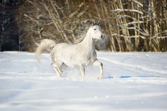 White Andalusian horse runs in winter time Royalty Free Stock Images