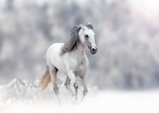 White andalusian stallion Stock Photography
