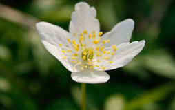 White anemone - 1 Royalty Free Stock Images