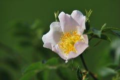 White anemone Royalty Free Stock Image