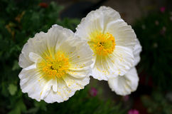 White anemone blooming in summer. White Anemone flower bloom in summer Stock Photo