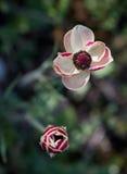 White anemone Coronaria flower Stock Image