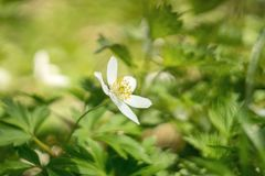 White anemone flower on a blurred background. Shallow depth of field Stock Photo