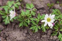 White anemone flower Royalty Free Stock Image