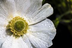 White Anemone flower with dew drops. Glistening in the morning sunlight with a yellow centre Stock Photography