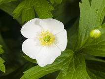 White anemone flower at flowerbed macro, selective focus, shallow DOF Royalty Free Stock Photo