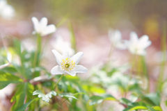 White anemone flower in forest Royalty Free Stock Photo