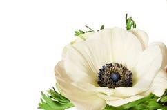 White anemone flower. Isolated on white background. Corner arrangement stock photography