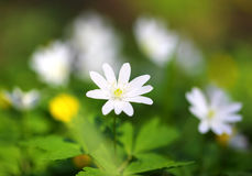 White anemone flower macro. In spring wood royalty free stock image