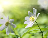 White anemone flower macro Royalty Free Stock Images