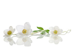 White anemone flowers Royalty Free Stock Images