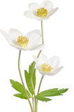 White anemone flowers Stock Photography
