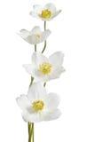 White anemone flowers Stock Photo