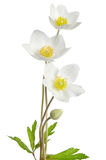 White anemone flowers Royalty Free Stock Image