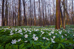 White anemone flowers on the lawn. royalty free stock photos