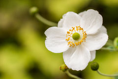 White anemone Stock Photos