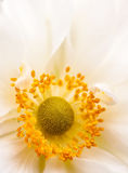 White Anemone. Macro image showing the soft golden centre of a white Anemone, along with its bright orange, pollen bearing stamens Stock Photo