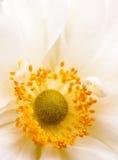 White Anemone Stock Photo